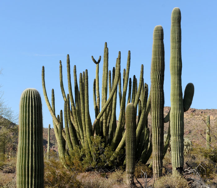 Dzika gęstwina kaktusów kolumnowych i organowych