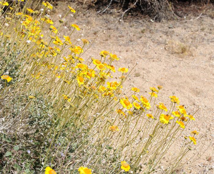 Żółte kwiecie na pustynnej palecie