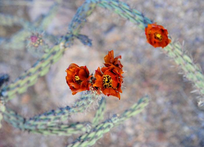 Warkocze kaktusa obsypane kwieciem na wiosnę