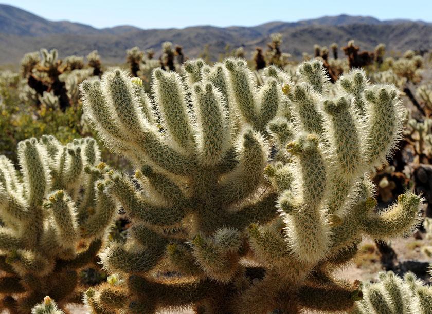 Wybujały kaktus cholla
