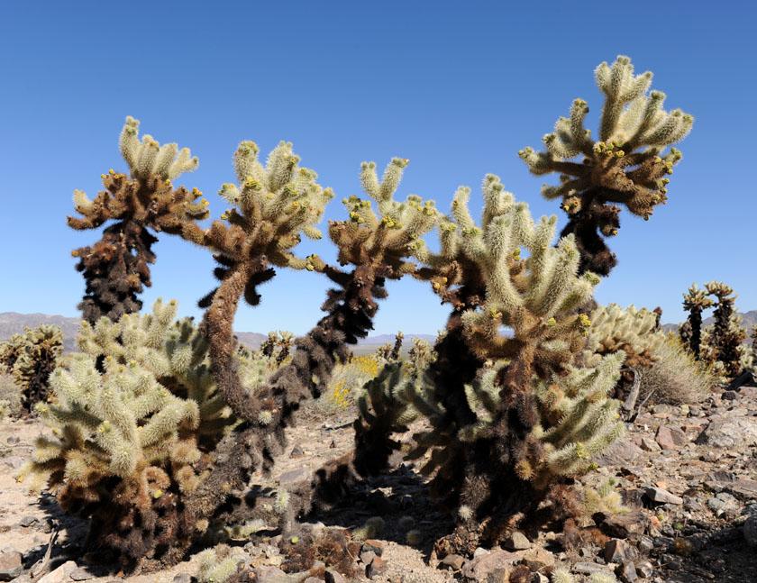W ogrodzie kaktusów cholla (Joshua Tree NP)