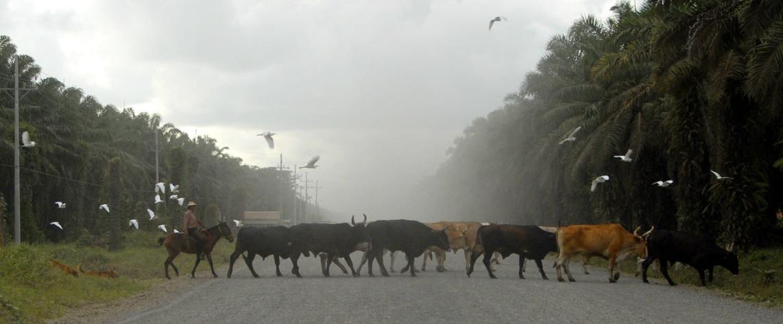 Herd Crossing (with some birds flying over it - ranchero przeprowadzający swoje stado przez drogę (prowincja Guanacaste).