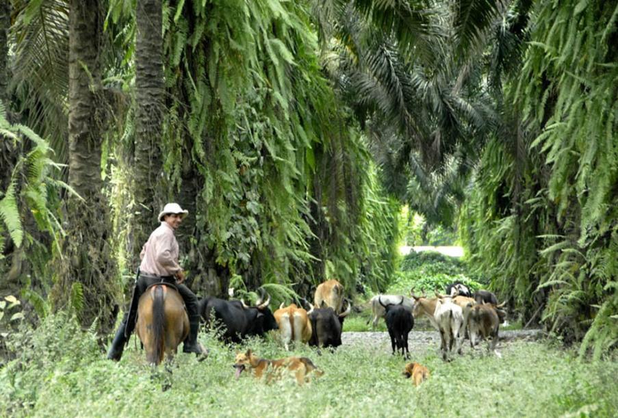 Kostarykański cowboy pod palmami.