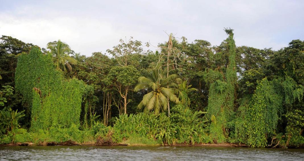 Dżungla w Tortuguero - ściana przebogatej Flory.