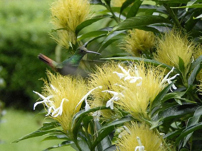 Pracowity koliberek w kwieciu pod Arenalem