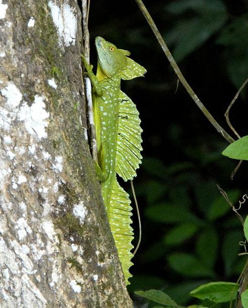 Bazyliszek (vel Jesus Christ lizard) na pniu drzewa