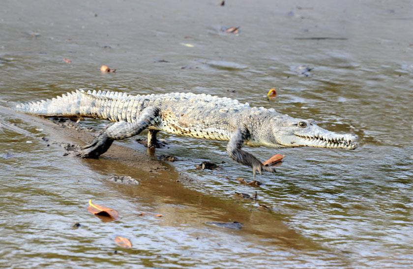 Krokodyl - sprinter
